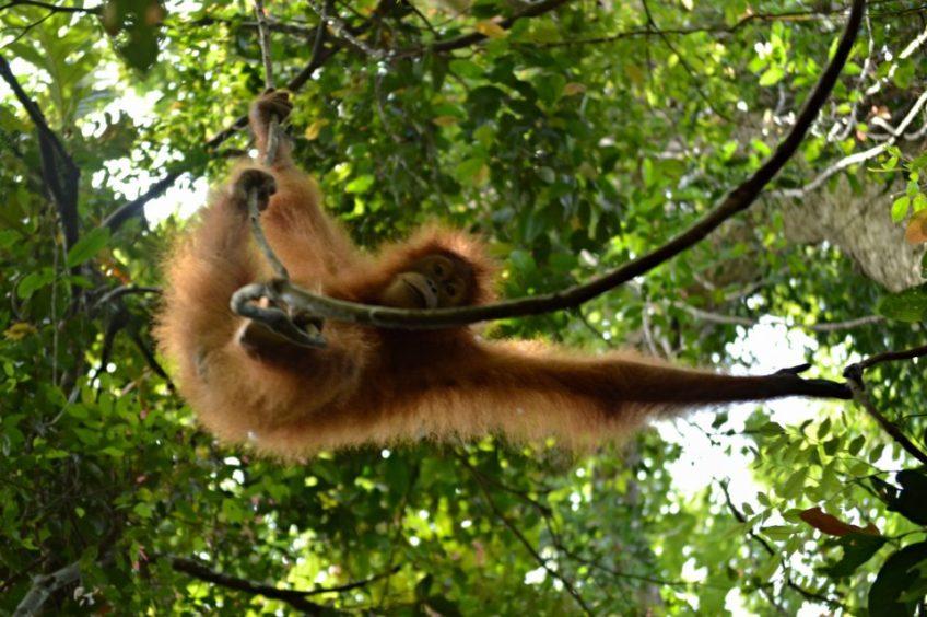 Honba za orangutany